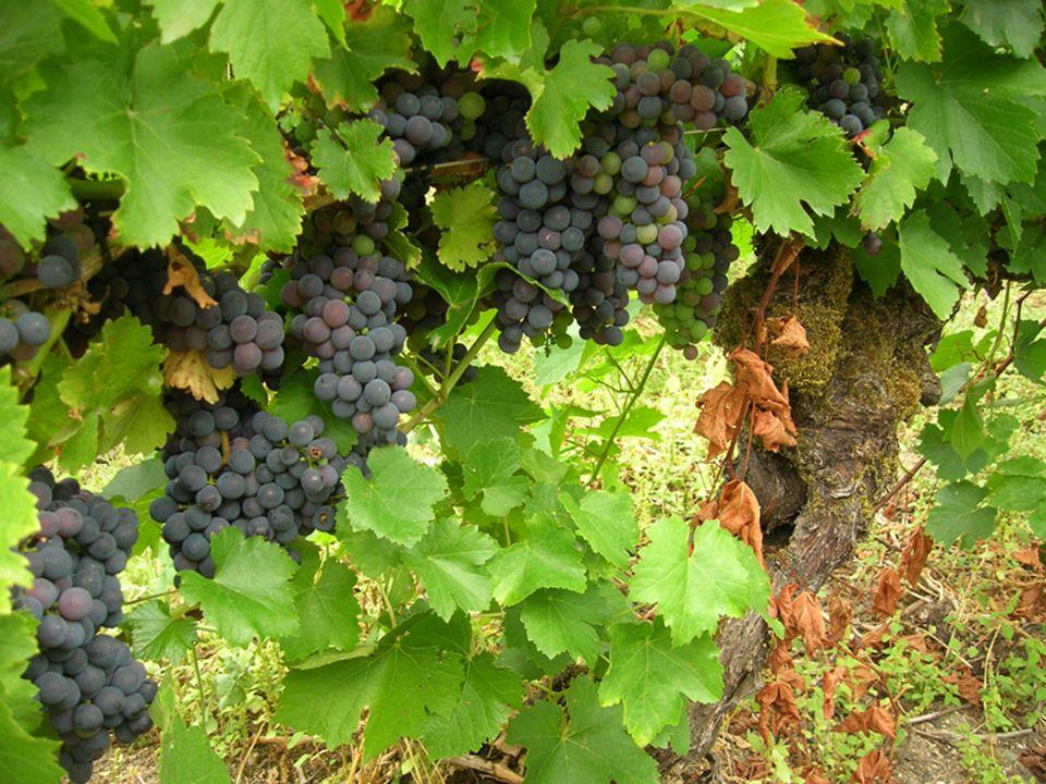 ἑτέρας δ ἄρα τε τρυγόωσιν, ἄλλας δὲ τραπέουσι de las uvas vendimian unas mientras pisan las otras