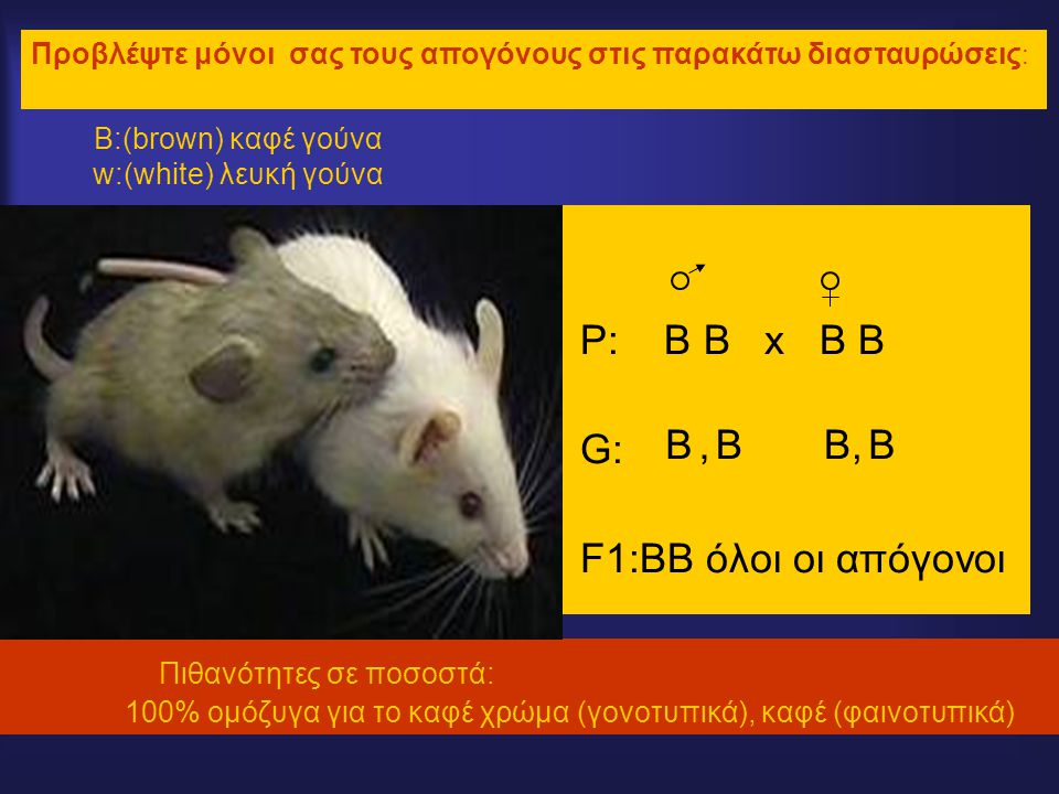 Β:(brown) καφέ γούνα w:(white) λευκή γούνα P: B B x B B G: F1:BB όλοι οι απόγονοι Πιθανότητες σε ποσοστά: 100% ομόζυγα για το καφέ χρώμα (γονοτυπικά), καφέ (φαινοτυπικά) Προβλέψτε μόνοι σας τους απογόνους στις παρακάτω διασταυρώσεις : BBB,B, B,