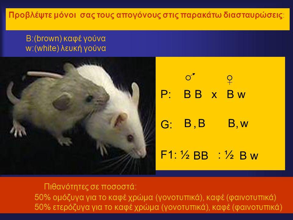 Β:(brown) καφέ γούνα w:(white) λευκή γούνα P: B B x B w G: F1: ½ : ½ Πιθανότητες σε ποσοστά: 50% ομόζυγα για το καφέ χρώμα (γονοτυπικά), καφέ (φαινοτυ