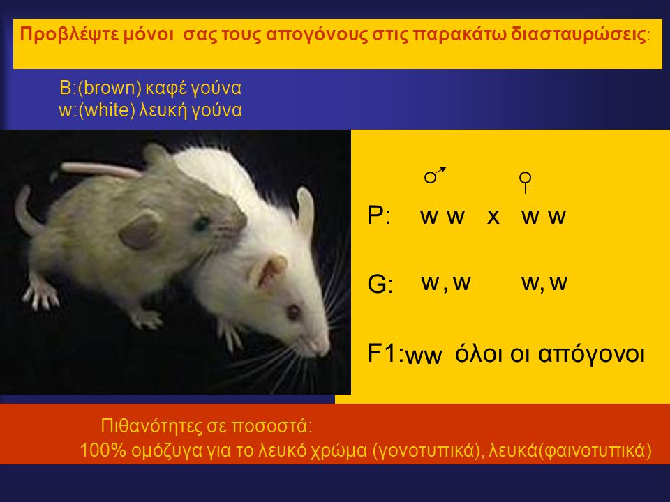 Β:(brown) καφέ γούνα w:(white) λευκή γούνα P: w w x w w G: F1: όλοι οι απόγονοι Προβλέψτε μόνοι σας τους απογόνους στις παρακάτω διασταυρώσεις : www,w, w, ww Πιθανότητες σε ποσοστά: 100% ομόζυγα για το λευκό χρώμα (γονοτυπικά), λευκά(φαινοτυπικά)