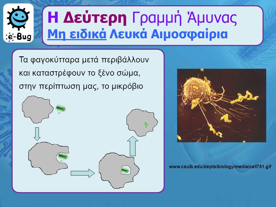 Η Δεύτερη Γραμμή Άμυνας Μη ειδικά Λευκά Αιμοσφαίρια Τα φαγοκύτταρα μετά περιβάλλουν και καταστρέφουν το ξένο σώμα, στην περίπτωση μας, το μικρόβιο www
