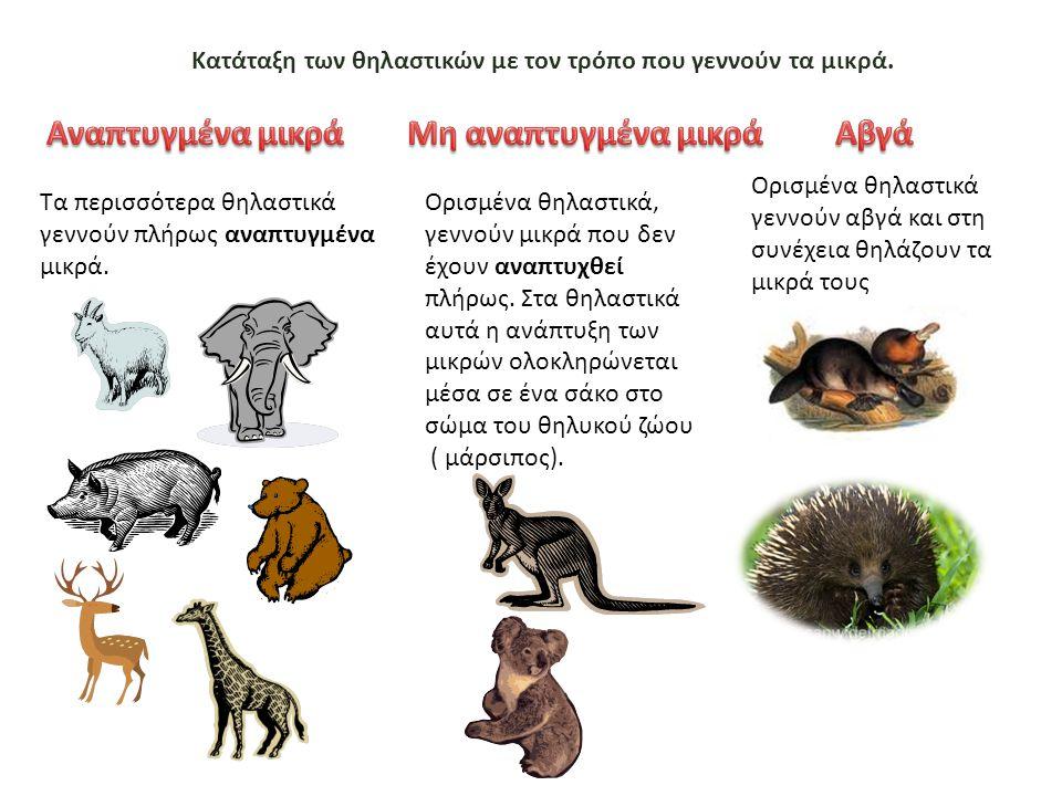Κατάταξη των θηλαστικών με τον τρόπο που γεννούν τα μικρά. Τα περισσότερα θηλαστικά γεννούν πλήρως αναπτυγμένα μικρά. Ορισμένα θηλαστικά, γεννούν μικρ