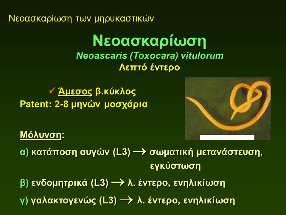 Νεοασκαρίωση των μηρυκαστικών Άμεσος β.κύκλος Άμεσος β.κύκλος Patent: 2-8 μηνών μοσχάρια Μόλυνση: α) κατάποση αυγών (L3)  σωματική μετανάστευση, εγκύστωση εγκύστωση β) ενδομητρικά (L3)  λ.
