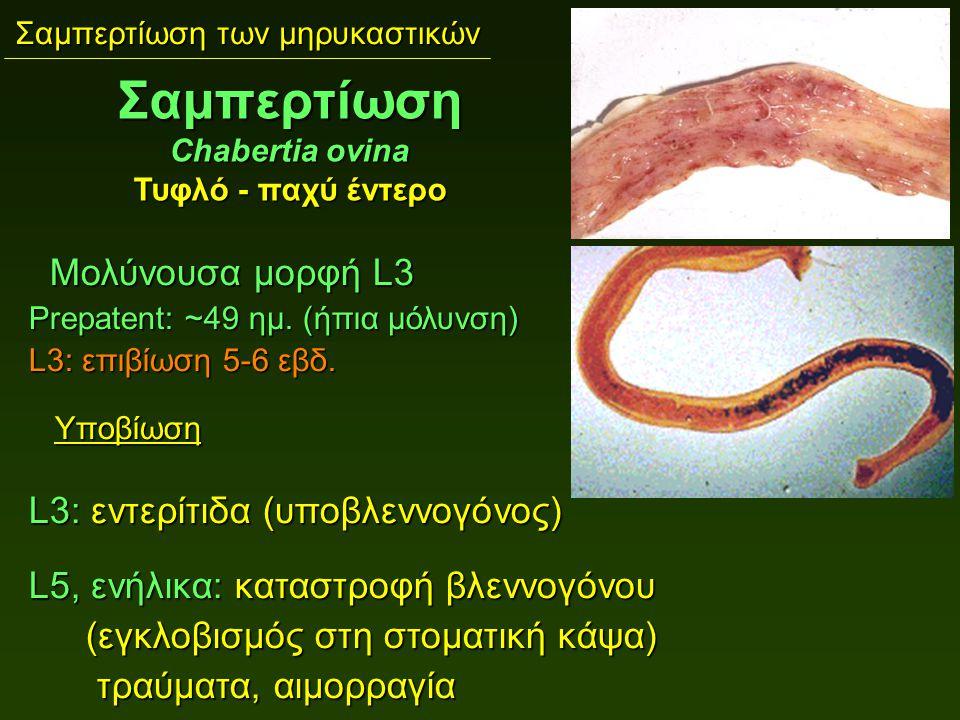 Σαμπερτίωση των μηρυκαστικών Μολύνουσα μορφή L3 Μολύνουσα μορφή L3 Prepatent: ~49 ημ. (ήπια μόλυνση) L3: επιβίωση 5-6 εβδ. Υποβίωση Υποβίωση L3: εντερ