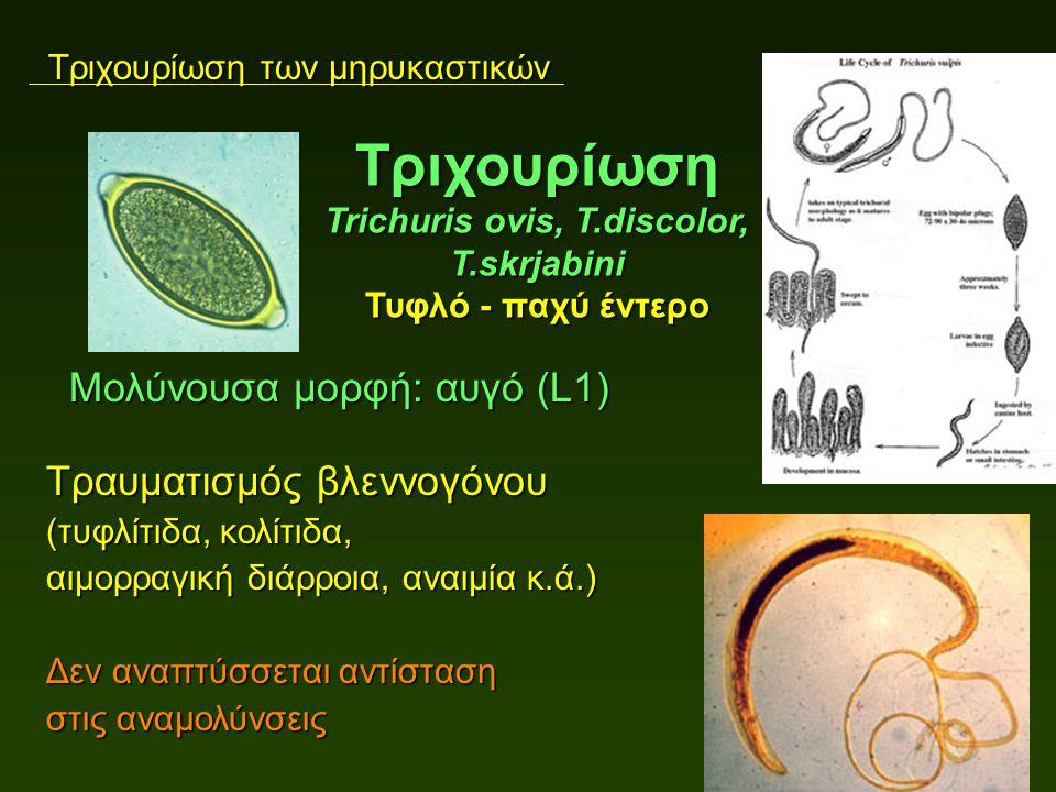 Τριχουρίωση των μηρυκαστικών Μολύνουσα μορφή: αυγό (L1) Μολύνουσα μορφή: αυγό (L1) Τραυματισμός βλεννογόνου (τυφλίτιδα, κολίτιδα, αιμορραγική διάρροια, αναιμία κ.ά.) Δεν αναπτύσσεται αντίσταση στις αναμολύνσεις Τριχουρίωση Trichuris ovis, T.discolor, T.skrjabini Τυφλό - παχύ έντερο