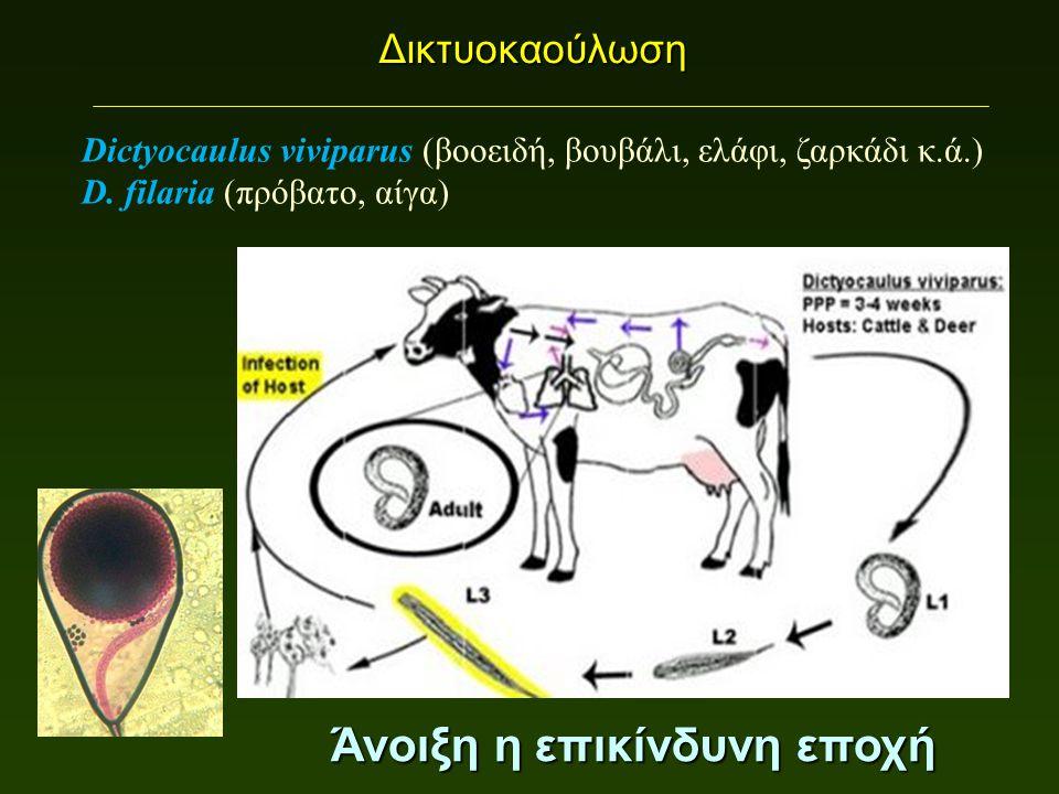 Δικτυοκαούλωση Άνοιξη η επικίνδυνη εποχή Dictyocaulus viviparus (βοοειδή, βουβάλι, ελάφι, ζαρκάδι κ.ά.) D.