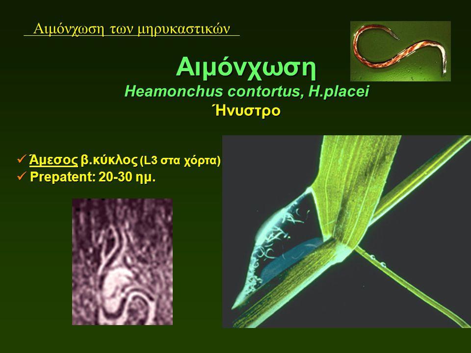 Αιμόνχωση των μηρυκαστικών Άμεσος β.κύκλος (L3 στα χόρτα) Άμεσος β.κύκλος (L3 στα χόρτα) Prepatent: 20-30 ημ. Prepatent: 20-30 ημ. Αιμόνχωση Heamonchu