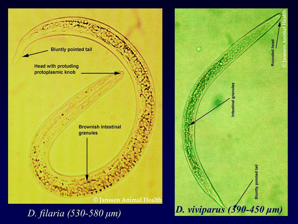 D. filaria (530-580 μm) D. viviparus (390-450 μm)