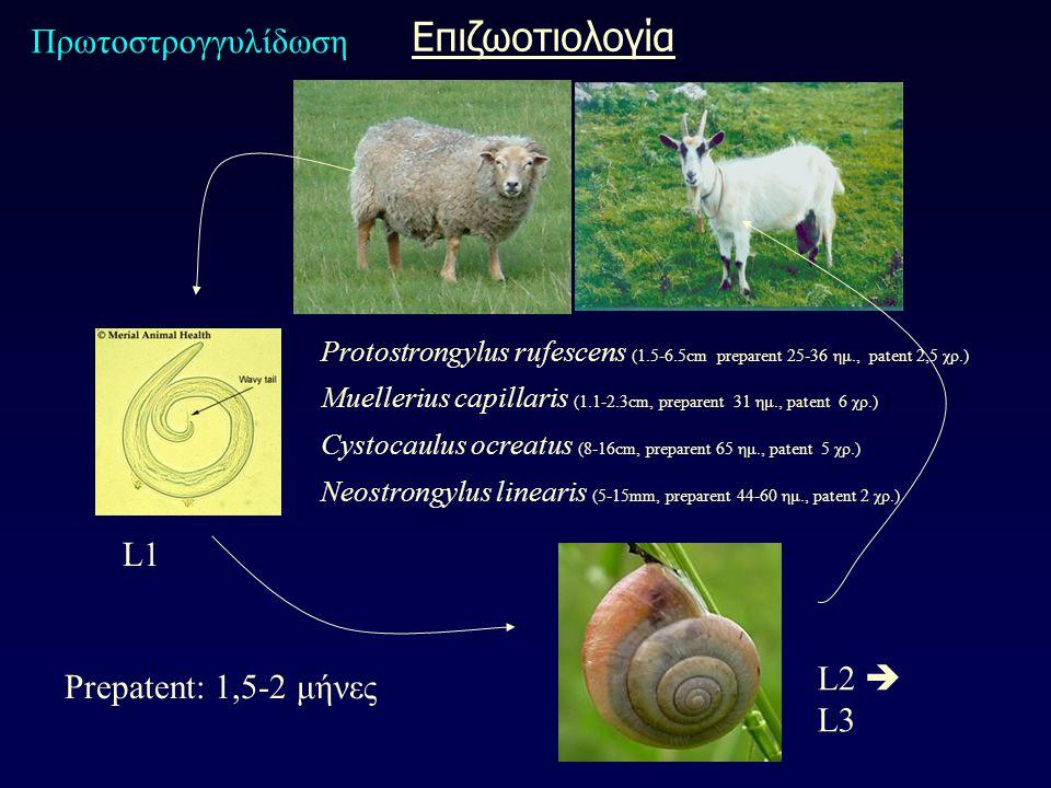 L1 L2  L3 Protostrongylus rufescens (1.5-6.5cm preparent 25-36 ημ., patent 2,5 χρ.) Muellerius capillaris (1.1-2.3cm, preparent 31 ημ., patent 6 χρ.) Cystocaulus ocreatus (8-16cm, preparent 65 ημ., patent 5 χρ.) Neostrongylus linearis (5-15mm, preparent 44-60 ημ., patent 2 χρ.) Prepatent: 1,5-2 μήνες Πρωτοστρογγυλίδωση Επιζωοτιολογία