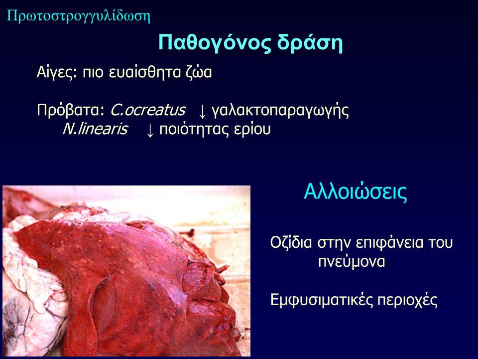 Παθογόνος δράση Πρωτοστρογγυλίδωση Αίγες: πιο ευαίσθητα ζώα Πρόβατα: C.ocreatus ↓ γαλακτοπαραγωγής N.linearis ↓ ποιότητας ερίου Αλλοιώσεις Οζίδια στην