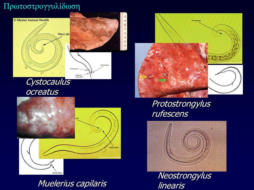 Cystocaulus ocreatus Protostrongylus rufescens Muelerius capilaris Neostrongylus linearis Πρωτοστρογγυλίδωση