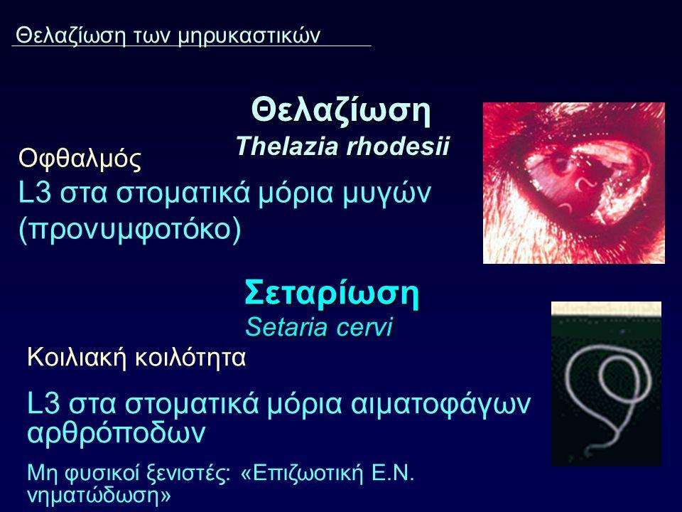 Θελαζίωση Thelazia rhodesii Οφθαλμός L3 στα στοματικά μόρια μυγών (προνυμφοτόκο) Θελαζίωση των μηρυκαστικών Σεταρίωση Setaria cervi Κοιλιακή κοιλότητα L3 στα στοματικά μόρια αιματοφάγων αρθρόποδων Μη φυσικοί ξενιστές: «Επιζωοτική Ε.Ν.