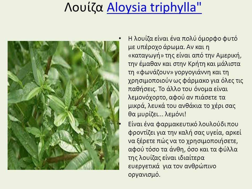 Λουίζα Aloysia triphylla