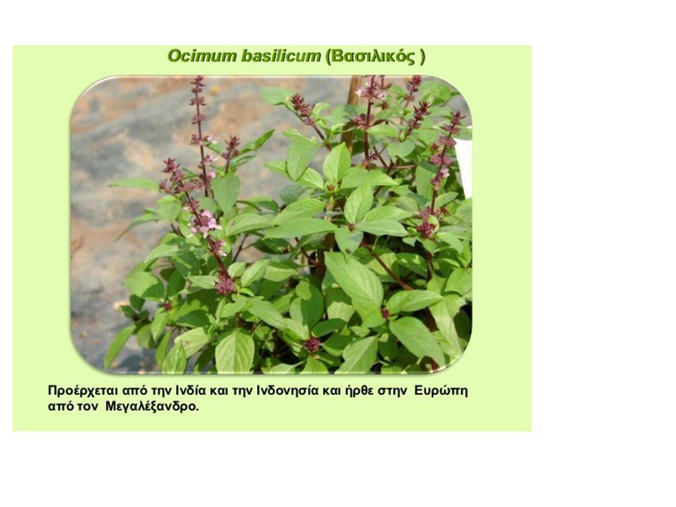 Λουίζα Aloysia triphylla Aloysia triphylla Η λουίζα είναι ένα πολύ όμορφο φυτό με υπέροχο άρωμα.