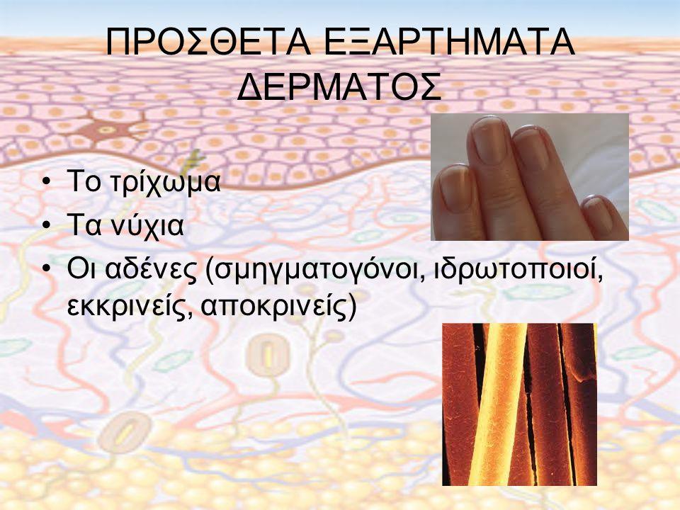 ΠΡΟΣΘΕΤΑ ΕΞΑΡΤΗΜΑΤΑ ΔΕΡΜΑΤΟΣ Το τρίχωμα Τα νύχια Οι αδένες (σμηγματογόνοι, ιδρωτοποιοί, εκκρινείς, αποκρινείς)