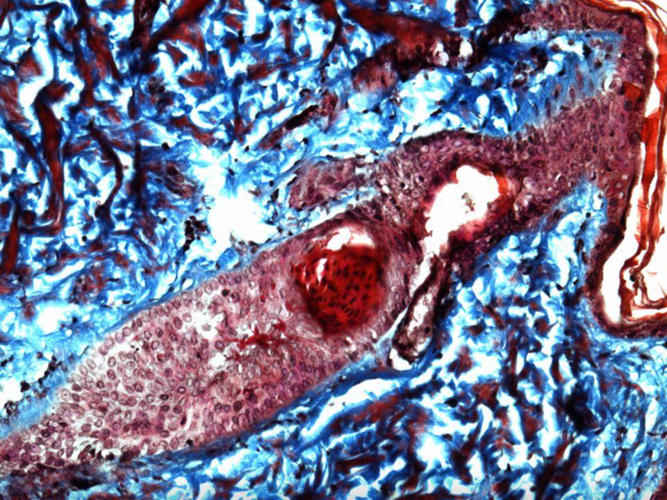 Δερμα…Δομή και συστατικά Επιδερμίδα & χόριο …1.8 m²…16% Βάρους του σώματος Θερμορύθμιση Θερμορύθμιση Μεταβολισμός Μεταβολισμός Αισθητικότητα Αισθητικότητα Προστασία Προστασία Σύνθεση βιταμίνης D Σύνθεση βιταμίνης D