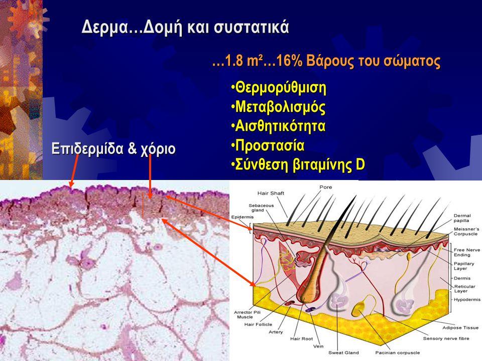 Δερμα…Δομή και συστατικά Επιδερμίδα & χόριο …1.8 m²…16% Βάρους του σώματος Θερμορύθμιση Θερμορύθμιση Μεταβολισμός Μεταβολισμός Αισθητικότητα Αισθητικό