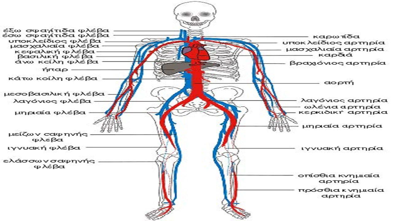 ΤΑΞΙΔΙ ΤΟΥ ΑΙΜΑΤΟΣ ΕΜΠΛΟΥΤΙΣΜΕΝΟ Από αυτό το σημείο, το αίμα κινείται μέσω μιας σειράς όλο και περισσότερο μικρότερων αρτηριών, έως ότου φθάνει σε ένα τριχοειδές αγγείο, τη σύνδεση μεταξύ των αρτηριών και των φλεβών.