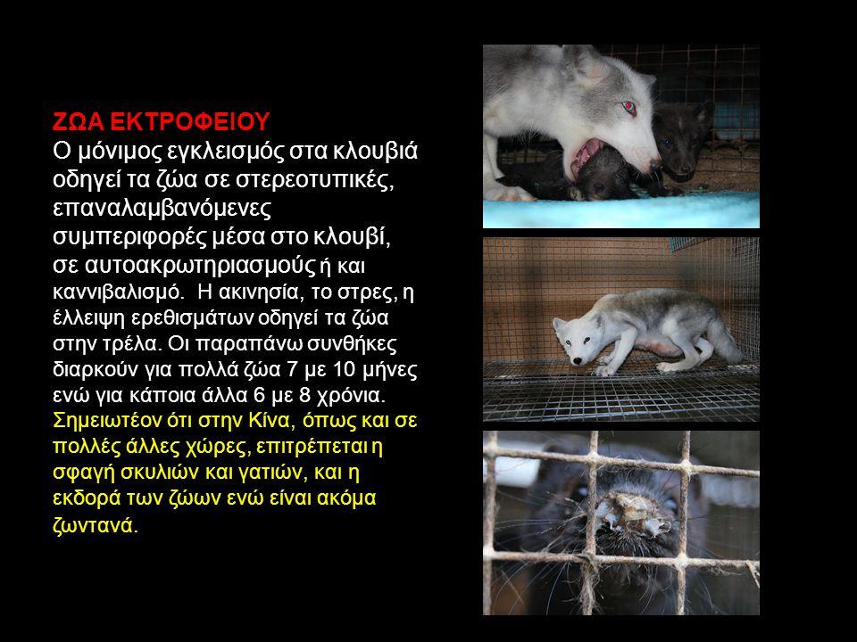 ΖΩΑ ΕΚΤΡΟΦΕΙΟΥ Ο μόνιμος εγκλεισμός στα κλουβιά οδηγεί τα ζώα σε στερεοτυπικές, επαναλαμβανόμενες συμπεριφορές μέσα στο κλουβί, σε αυτοακρωτηριασμούς ή και καννιβαλισμό.