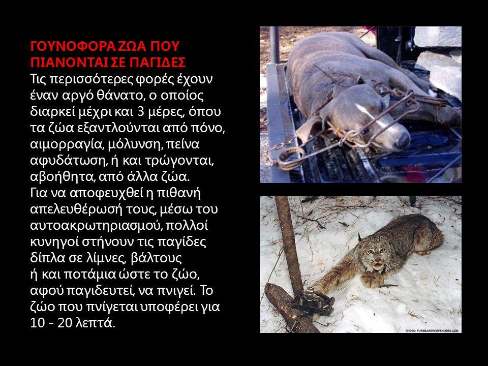 ΠΩΣ ΘΑΝΑΤΩΝΟΝΤΑΙ ΑΥΤΑ ΤΑ ΖΩΑ Τα γουνοφόρα ζώα που παγιδεύονται σκοτώνονται είτε με πυροβολισμό, είτε με χτυπήματα μπαστουνιού, είτε με κλωτσιές στο θώρακα.