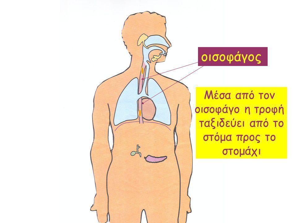 Μέσα από τον οισοφάγο η τροφή ταξιδεύει από το στόμα προς το στομάχι
