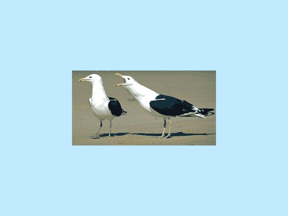 Μέχρι τώρα ήξερα ότι μόνο χειρουργικά γινόταν να διαπιστώσει κάποιος το φύλο ενός πουλιού. Απο την άλλη μεριά οι Ορνιθολόγοι ισχυρίζονται ότι μπορείς
