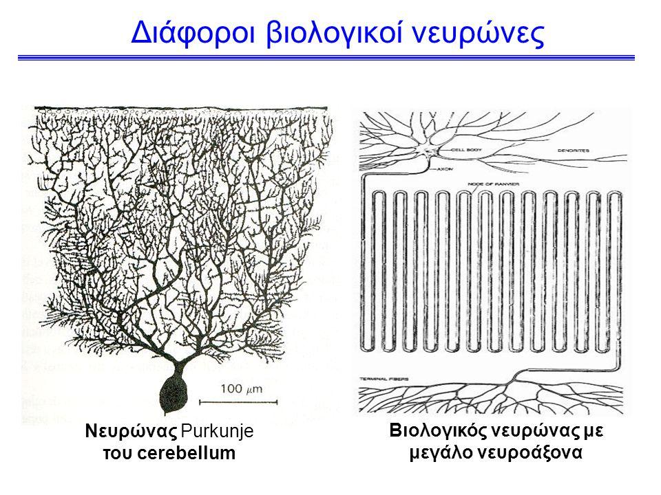 Διάφοροι βιολογικοί νευρώνες Βιολογικός νευρώνας με μεγάλο νευροάξονα Νευρώνας Purkunje του cerebellum