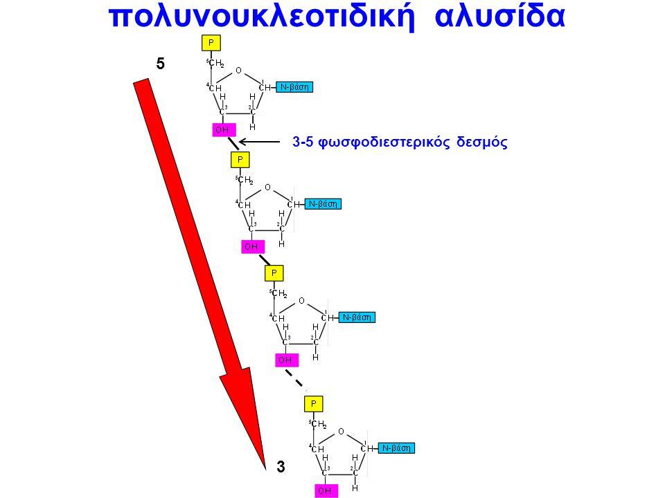 Ένα νουκλεοτίδιο OH P H CHCH CHCH C C O CH2CH2 HH N-βάση 1 23 4 5 OH P ΟHΟH CHCH CHCH C C O CH2CH2 HH N-βάση 1 23 4 5 A,T,C,G A,U,C,G δεοξυριβονουκλεο