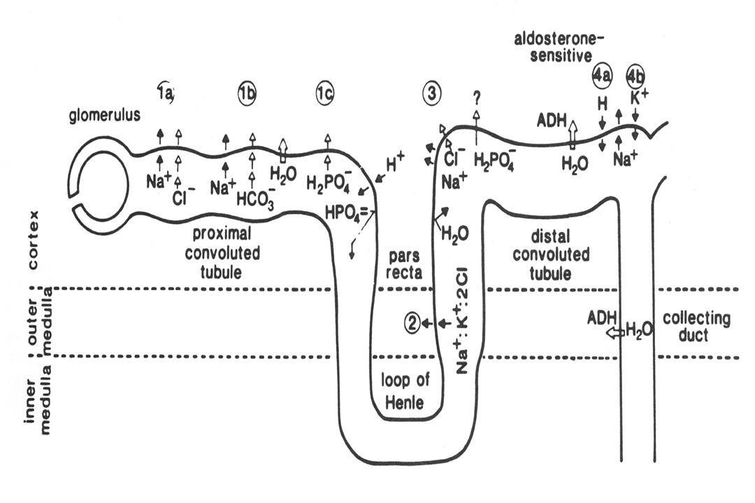 BP = Q. R Q  CO  Φλεβική επιστροφή  Εξωκυττάριος όγκος υγρών. R : Περιφερικές αντιστάσεις.
