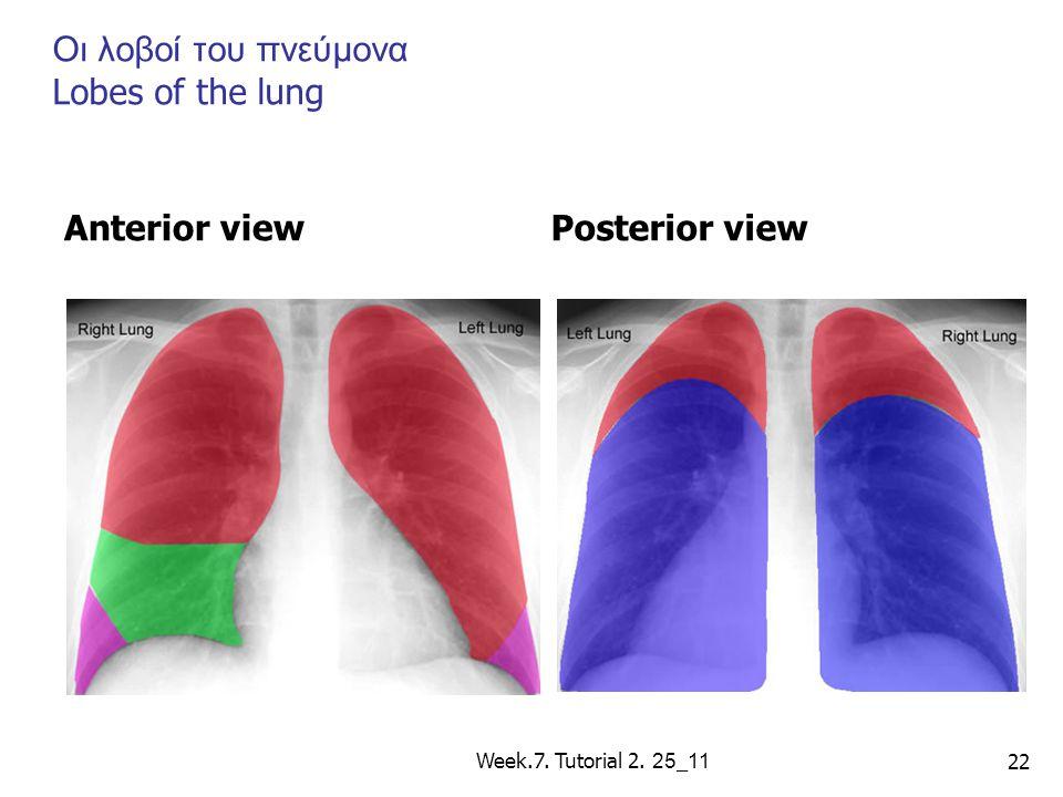 Οι λοβοί του πνεύμονα Lobes of the lung Anterior viewPosterior view Week.7. Tutorial 2. 25 _ 11 22