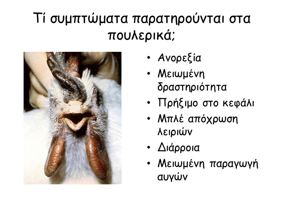 Τί συμπτώματα παρατηρούνται στα πουλερικά;