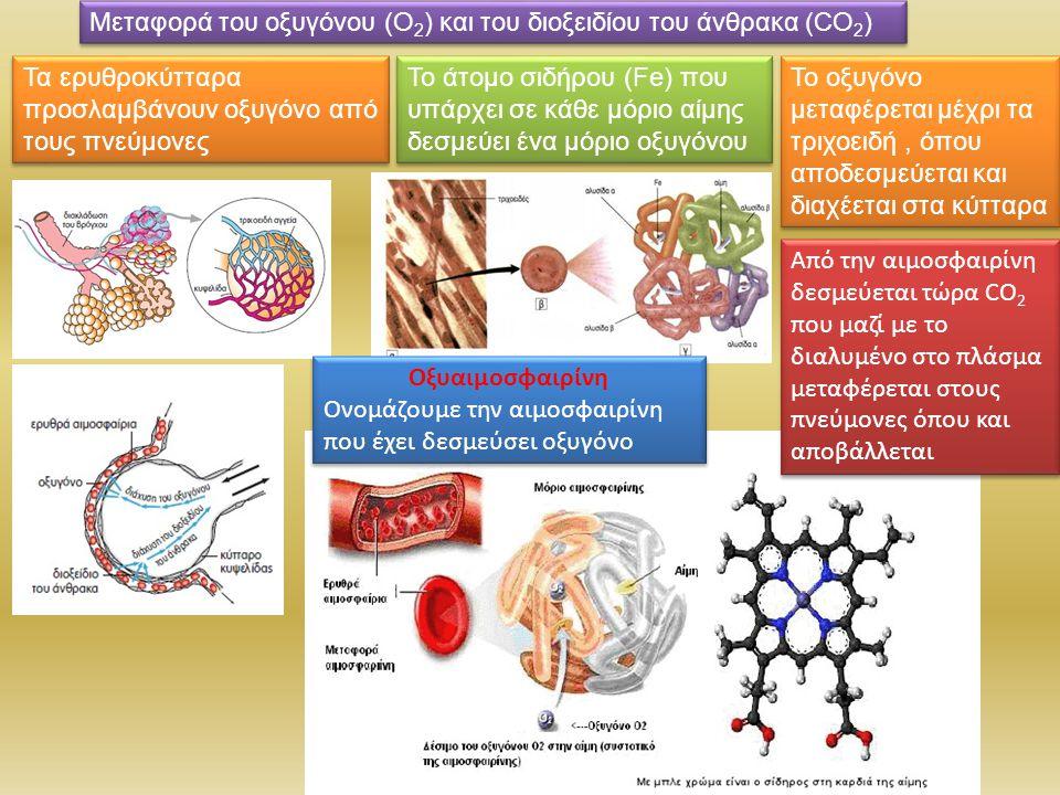 Μεταφορά του οξυγόνου (Ο 2 ) και του διοξειδίου του άνθρακα (CO 2 ) Το άτομο σιδήρου (Fe) που υπάρχει σε κάθε μόριο αίμης δεσμεύει ένα μόριο οξυγόνου Τα ερυθροκύτταρα προσλαμβάνουν οξυγόνο από τους πνεύμονες Οξυαιμοσφαιρίνη Ονομάζουμε την αιμοσφαιρίνη που έχει δεσμεύσει οξυγόνο Οξυαιμοσφαιρίνη Ονομάζουμε την αιμοσφαιρίνη που έχει δεσμεύσει οξυγόνο Το οξυγόνο μεταφέρεται μέχρι τα τριχοειδή, όπου αποδεσμεύεται και διαχέεται στα κύτταρα Από την αιμοσφαιρίνη δεσμεύεται τώρα CO 2 που μαζί με το διαλυμένο στο πλάσμα μεταφέρεται στους πνεύμονες όπου και αποβάλλεται