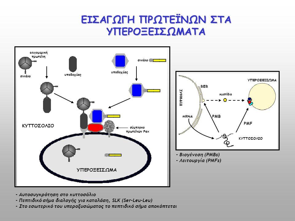 ΠΥΡΗΝΑΣ mRNA RER κυστίδιο ΥΠΕΡΟΞΕΙΣΩΜΑ ΚΥΤΤΟΣΟΛΙΟ PMF PMB σινιάλο ΚΥΤΤΟΣΟΛΙΟ ΥΠΕΡΟΞΕΙΣΩΜΑ ολιγομερική πρωτεϊνη σινιάλο υποδοχέας σύμπλοκο πρωτεϊνών Pe