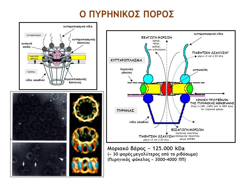 πυρήνας κυτταρόπλασμα πυρηνικός φάκελος ινίδιο καλαθιού πυρηνοπλασμικός δακτύλιος κεντρικό κανάλι κυτταροπλασμικός δακτύλιος κυτταροπλασμικά ινίδια ΠΥ