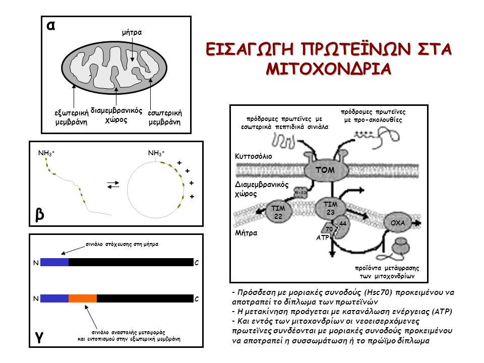 εξωτερική μεμβράνη εσωτερική μεμβράνη διαμεμβρανικός χώρος μήτρα NH 3 + + + + + α β σινιάλο στόχευσης στη μήτρα σινιάλο αναστολής μεταφοράς και εντοπι
