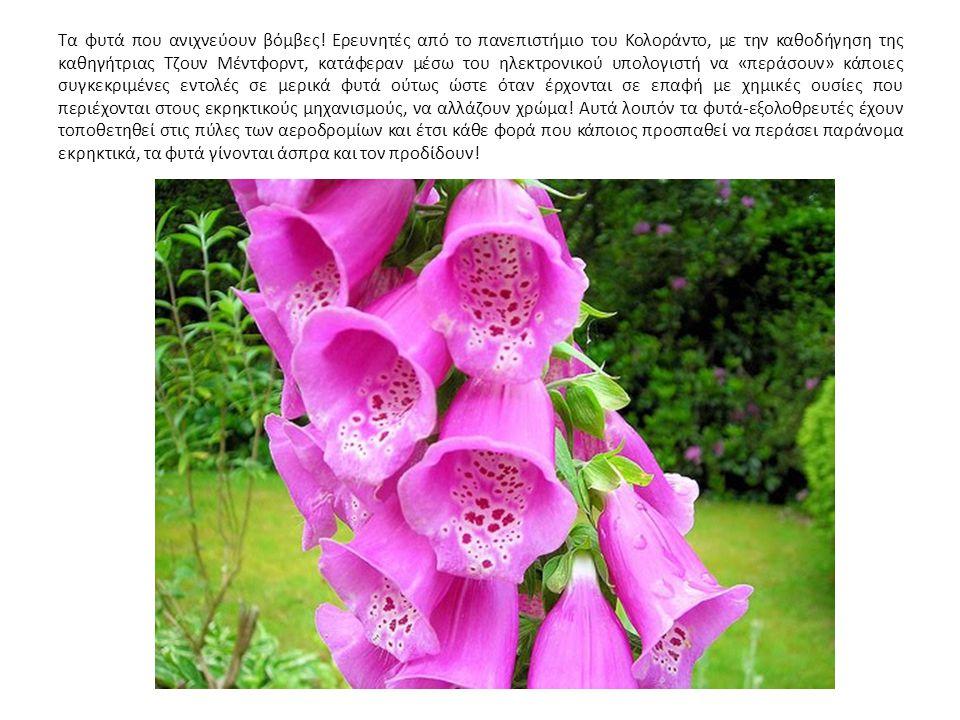 Τα φυτά που ανιχνεύουν βόμβες! Ερευνητές από το πανεπιστήμιο του Κολοράντο, με την καθοδήγηση της καθηγήτριας Τζουν Μέντφορντ, κατάφεραν μέσω του ηλεκ