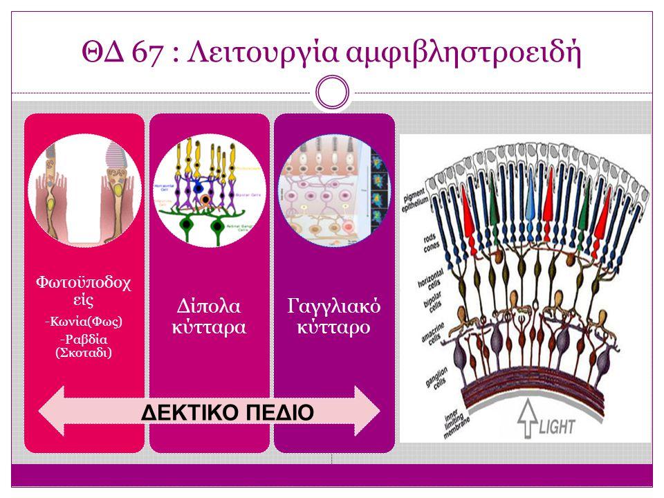 ΘΔ 67 : Λειτουργία αμφιβληστροειδή Φωτοϋποδοχ είς -Κωνία(Φως) -Ραβδία (Σκοταδι) Δίπολα κύτταρα Γαγγλιακό κύτταρο ΔΕΚΤΙΚΟ ΠΕΔΙΟ