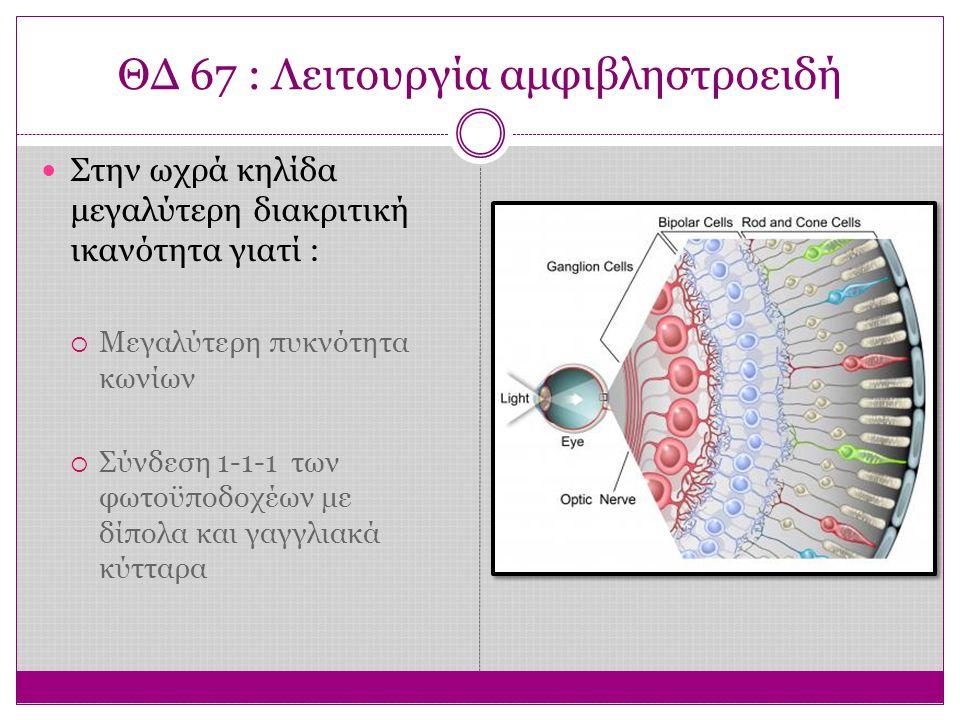 ΘΔ 67 : Λειτουργία αμφιβληστροειδή Στην ωχρά κηλίδα μεγαλύτερη διακριτική ικανότητα γιατί :  Μεγαλύτερη πυκνότητα κωνίων  Σύνδεση 1-1-1 των φωτοϋποδοχέων με δίπολα και γαγγλιακά κύτταρα