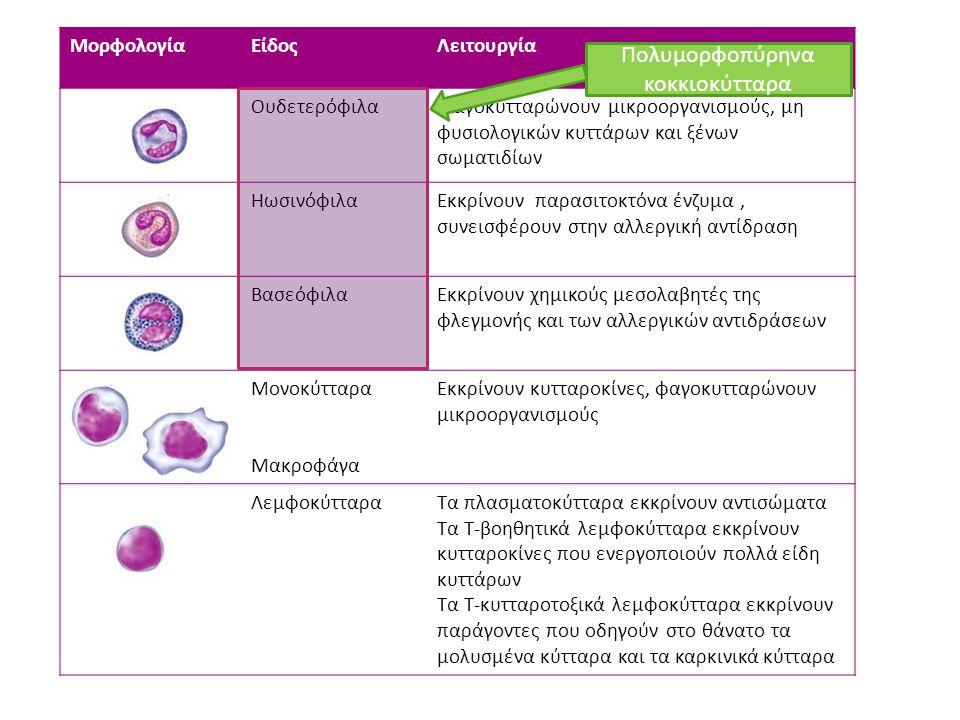 ΜορφολογίαΕίδοςΛειτουργία ΟυδετερόφιλαΦαγοκυτταρώνουν μικροοργανισμούς, μη φυσιολογικών κυττάρων και ξένων σωματιδίων ΗωσινόφιλαΕκκρίνουν παρασιτοκτόν