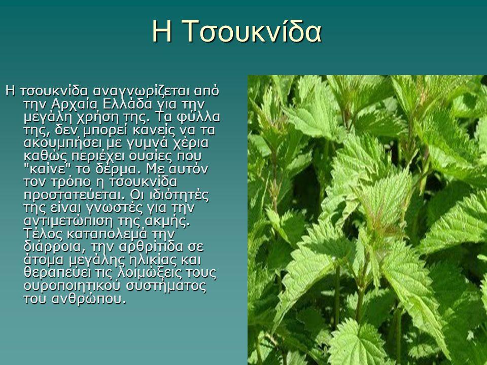 Η Τσουκνίδα Η τσουκνίδα αναγνωρίζεται από την Αρχαία Ελλάδα για την μεγάλη χρήση της. Τα φύλλα της, δεν μπορεί κανείς να τα ακουμπήσει με γυμνά χέρια