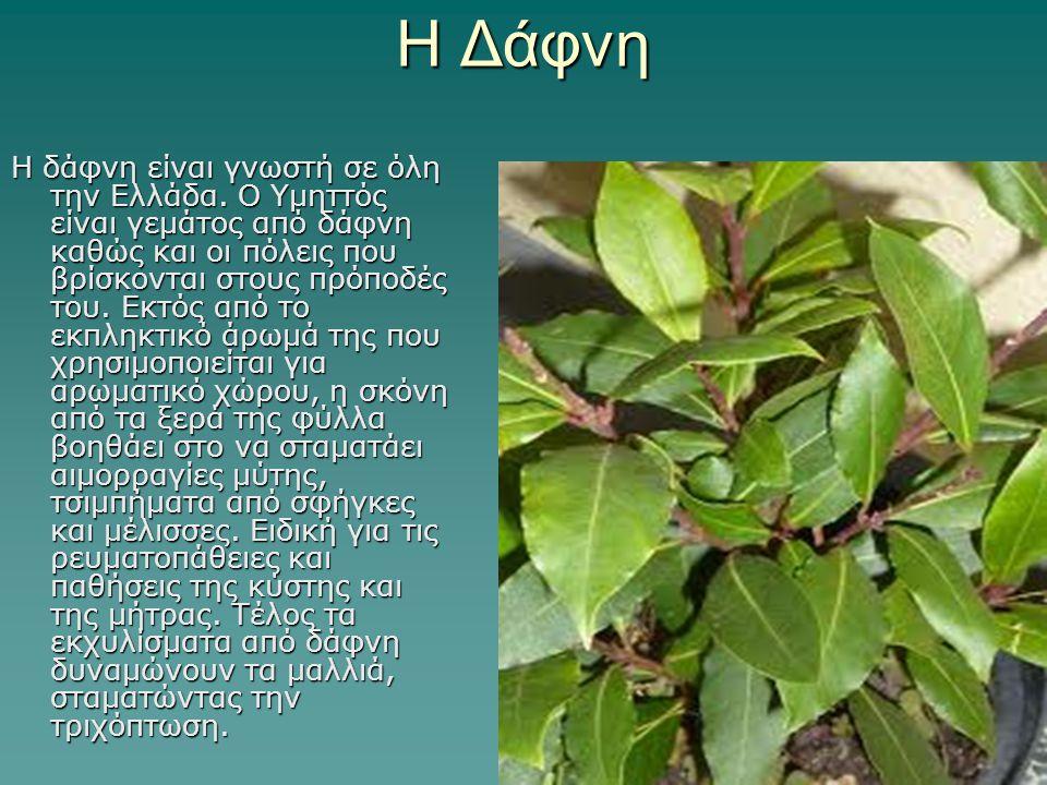 Η Δάφνη Η δάφνη είναι γνωστή σε όλη την Ελλάδα. Ο Υμηττός είναι γεμάτος από δάφνη καθώς και οι πόλεις που βρίσκονται στους πρόποδές του. Εκτός από το