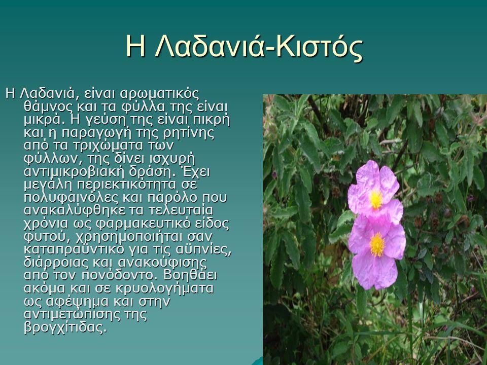 Η Λαδανιά-Κιστός Η Λαδανιά, είναι αρωματικός θάμνος και τα φύλλα της είναι μικρά. Η γεύση της είναι πικρή και η παραγωγή της ρητίνης από τα τριχώματα