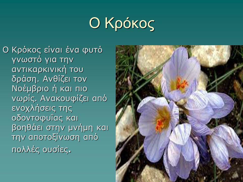 Ο Κρόκος Ο Κρόκος είναι ένα φυτό γνωστό για την αντικαρκινική του δράση. Ανθίζει τον Νοέμβριο ή και πιο νωρίς. Ανακουφίζει από ενοχλήσεις της οδοντοφυ