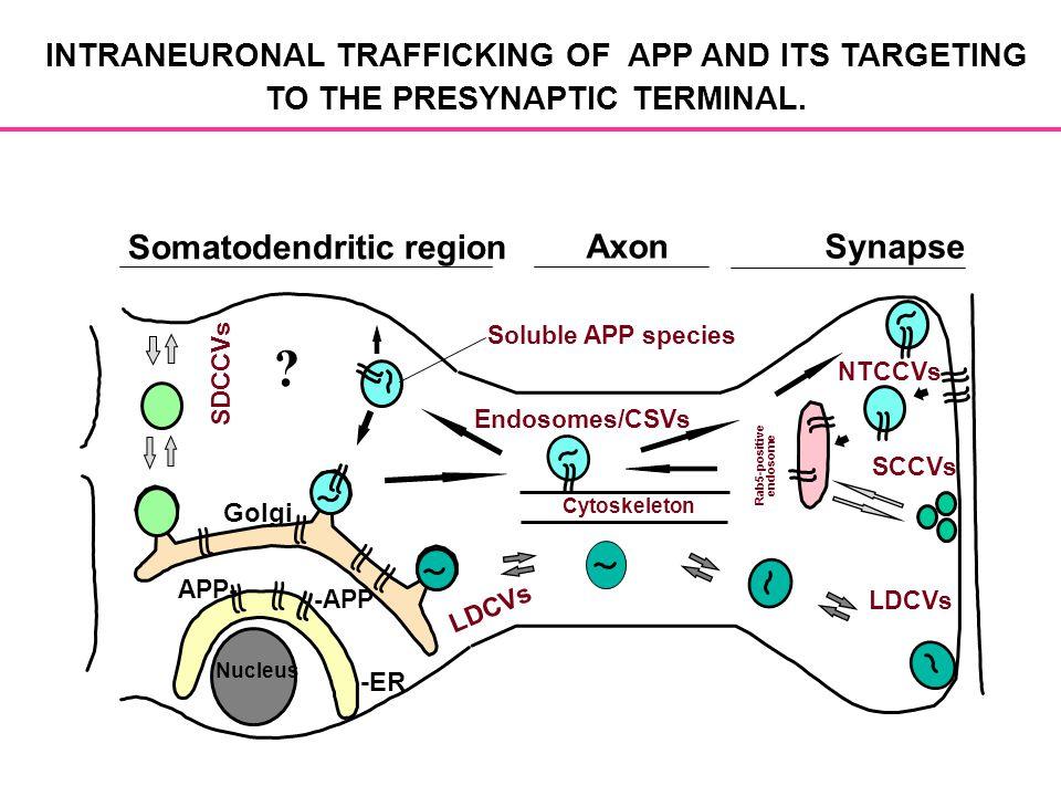 Somatodendritic region AxonSynapse SDCCVs NTCCVs Rab5-positive endosome SCCVs LDCVs Cytoskeleton Endosomes/CSVs Soluble APP species LDCVs Golgi -ER -A