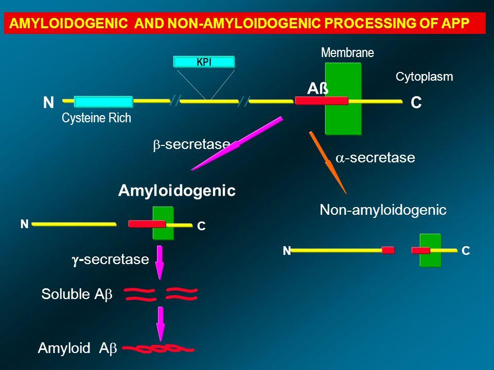 KPI Aß Membrane NC Cysteine Rich NC Non-amyloidogenic Amyloidogenic  - secretase  -secretase N C Soluble A  Amyloid A   -secretase Cytoplasm AMYL