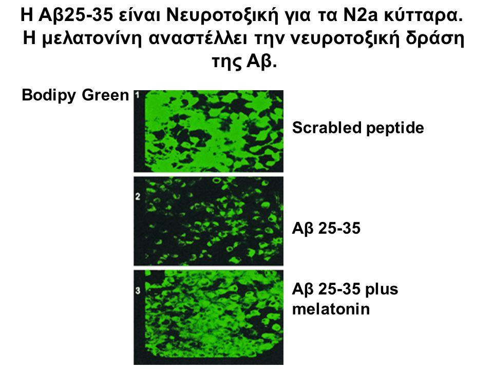 Bodipy Green Scrabled peptide Αβ 25-35 Αβ 25-35 plus melatonin Η Αβ25-35 είναι Νευροτοξική για τα N2a κύτταρα. Η μελατονίνη αναστέλλει την νευροτοξική