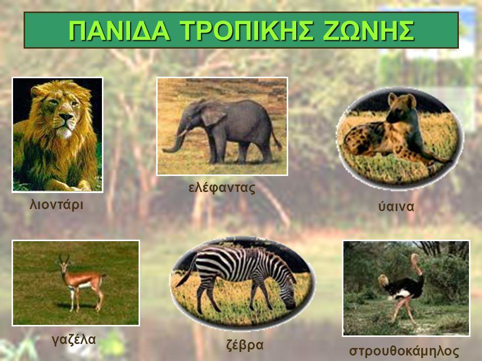 ΠΑΝΙΔΑ ΤΡΟΠΙΚΗΣ ΖΩΝΗΣ Γαζέλα λιοντάρι ύαινα ελέφαντας ύαινα γαζέλα ζέβρα στρουθοκάμηλος