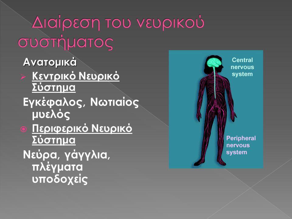 Ανατομικά Ανατομικά  Κεντρικό Νευρικό Σύστημα Εγκέφαλος, Νωτιαίος μυελός  Περιφερικό Νευρικό Σύστημα Νεύρα, γάγγλια, πλέγματα υποδοχείς