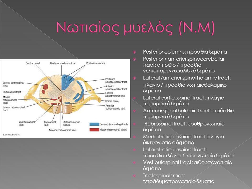  Posterior columns: πρόσθια δεμάτια  Posterior / anterior spinocerebellar tract: οπίσθιο / πρόσθιο νωτιοπαρεγκεφαλιδικό δεμάτιο  Lateral /anterior