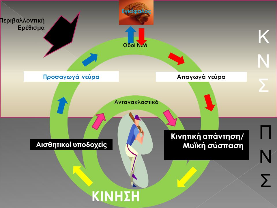 Κινητική απάντηση/ Μυϊκή σύσπαση ΚΙΝΗΣΗ Αισθητικοί υποδοχείς Απαγωγά νεύρα Προσαγωγά νεύρα Αντανακλαστικό Οδοί Ν.Μ Περιβαλλοντική Ερέθισμα Εγκέφαλος